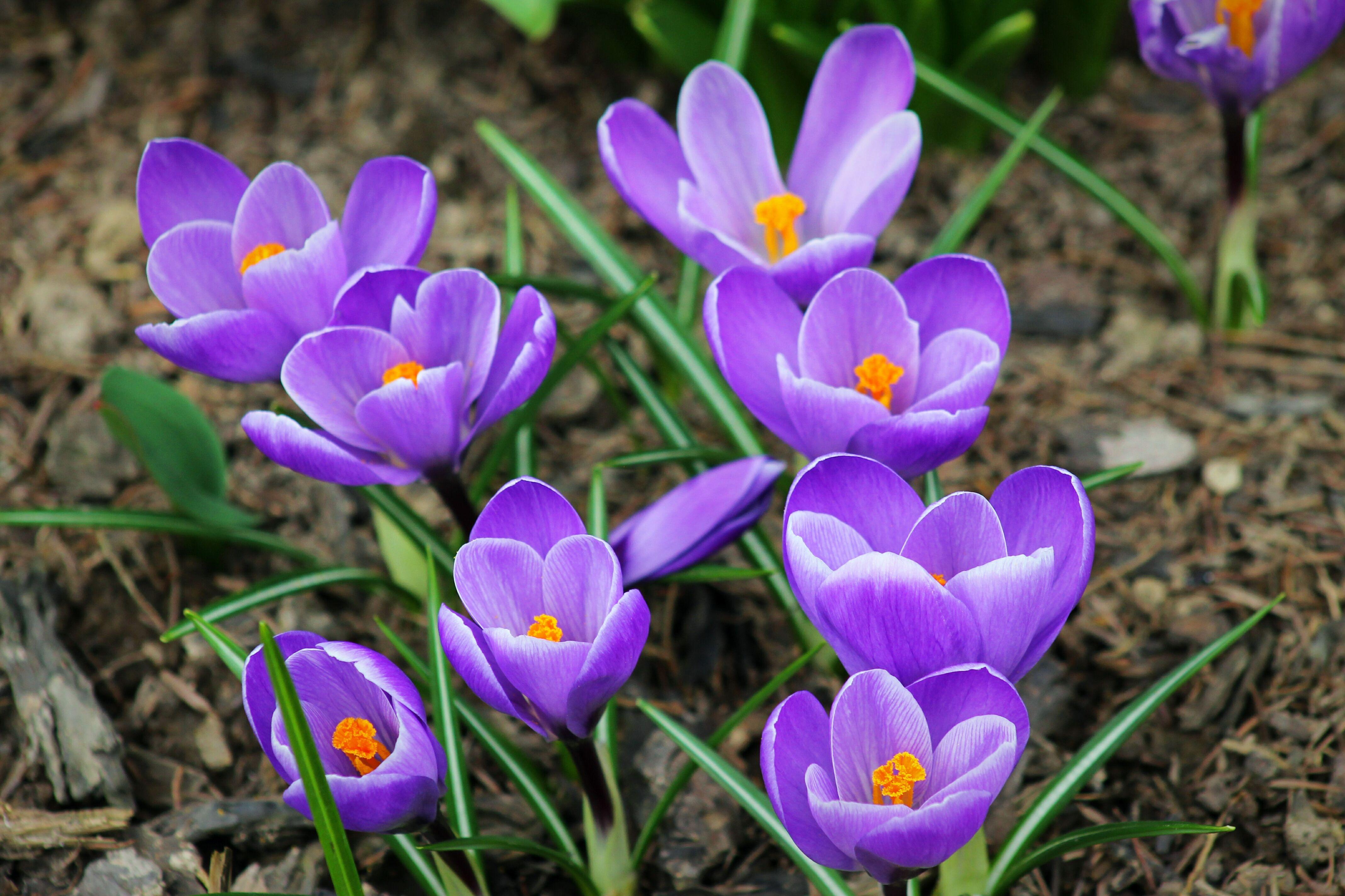 'Grand Maitre' crocus with purple flowers