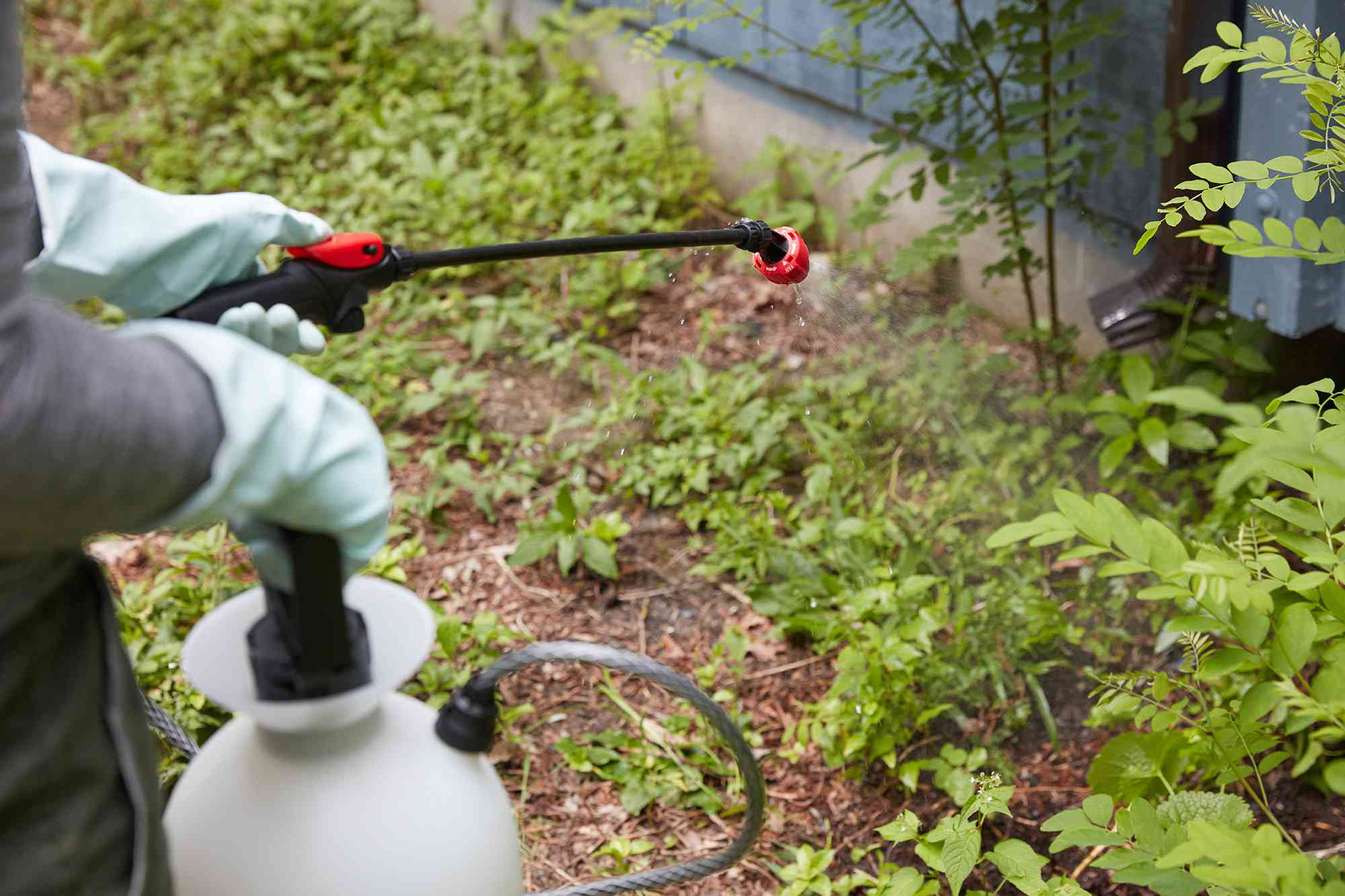 Chemical weed killer sprayed over poison ivy top growth with gloves