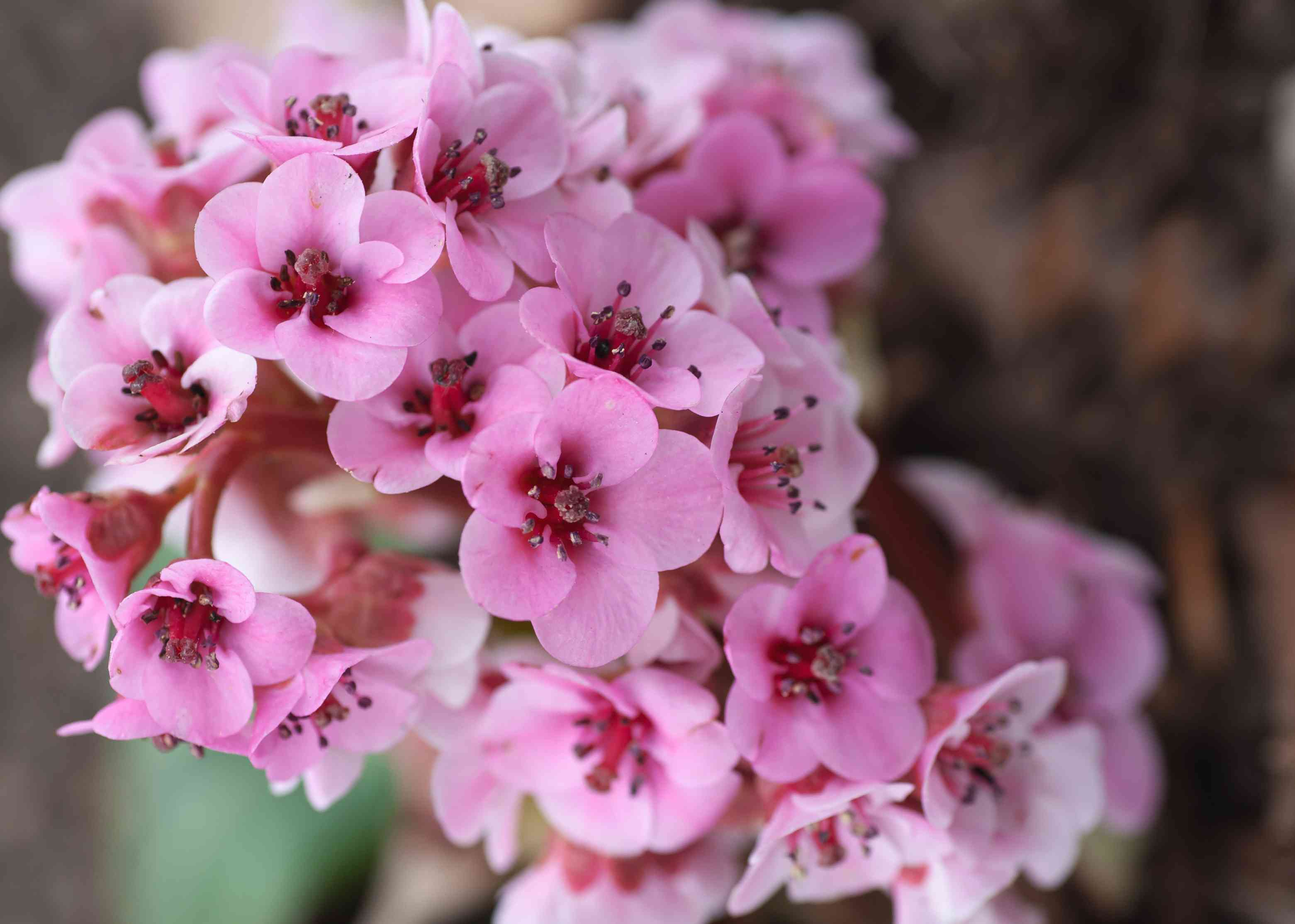 Bergenia plant with small pink flowers clustered together closeup