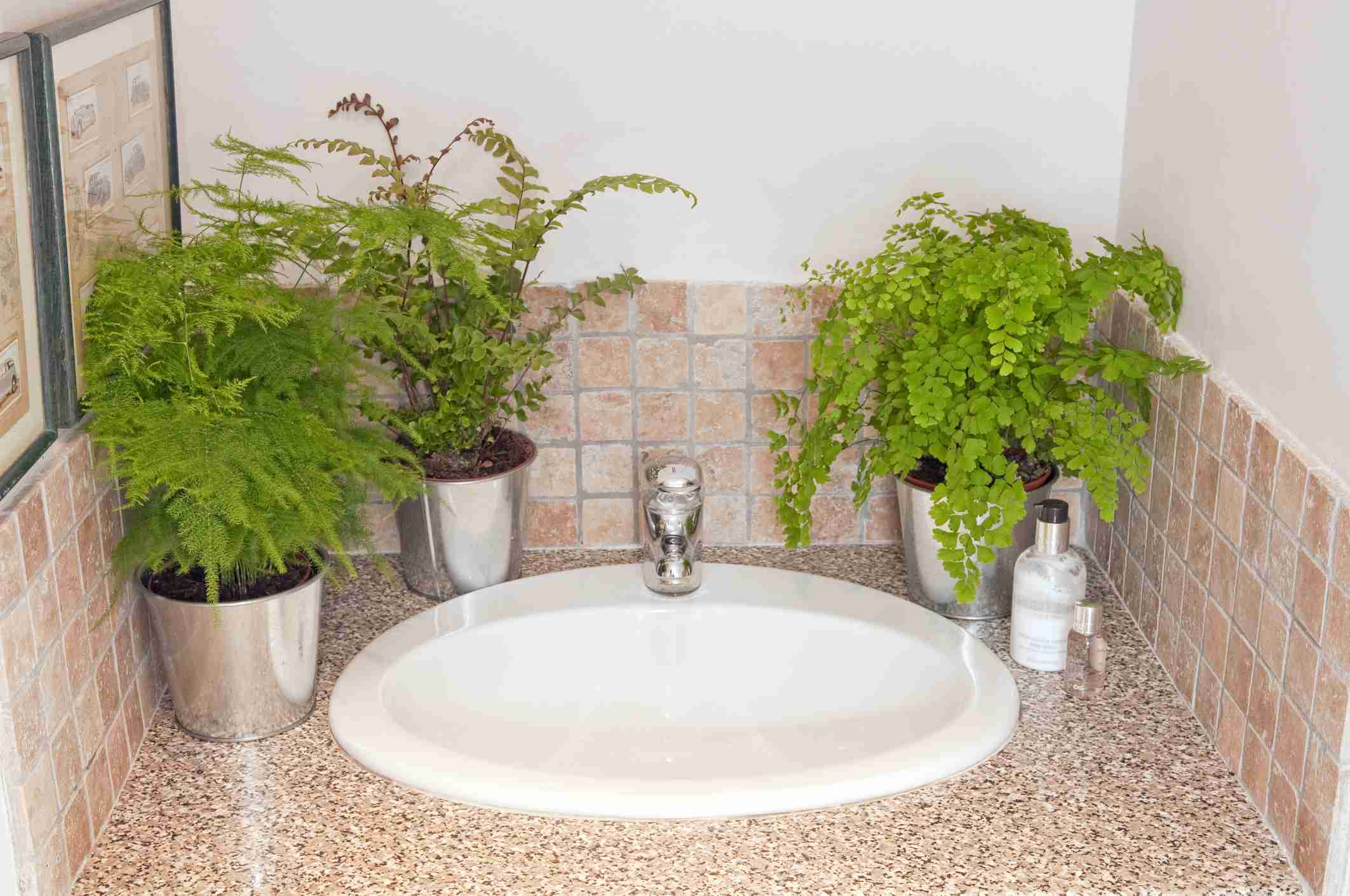 Ferns on bathroom counter