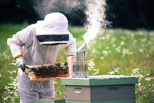 Bee keeper inspecting hive with smoker