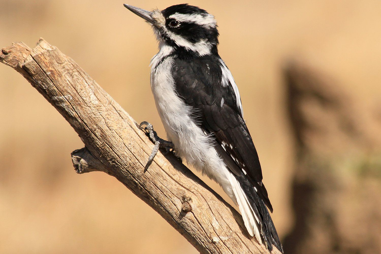 Gallery Of North American Woodpeckers