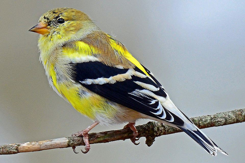 Molting American Goldfinch