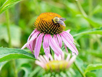 bee on a purple coneflower