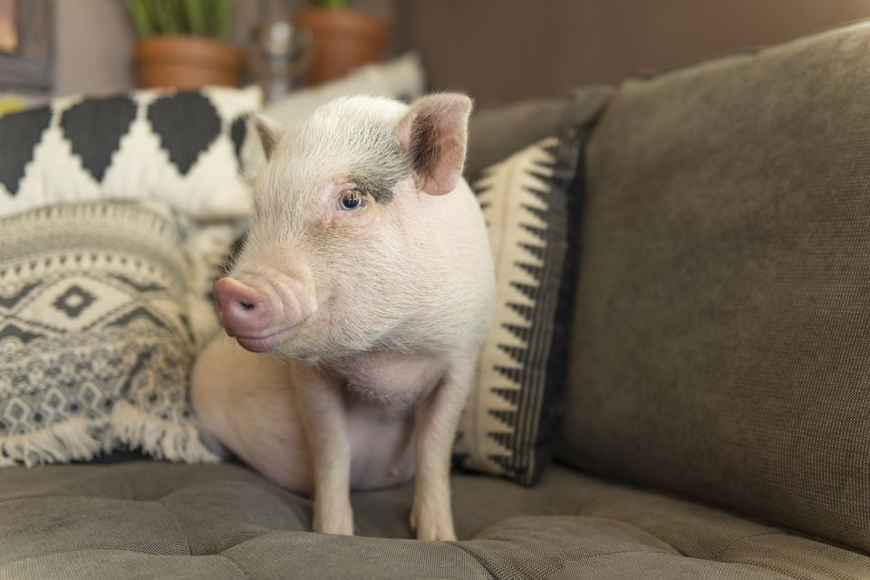 Cute baby piglet sitting on a sofa