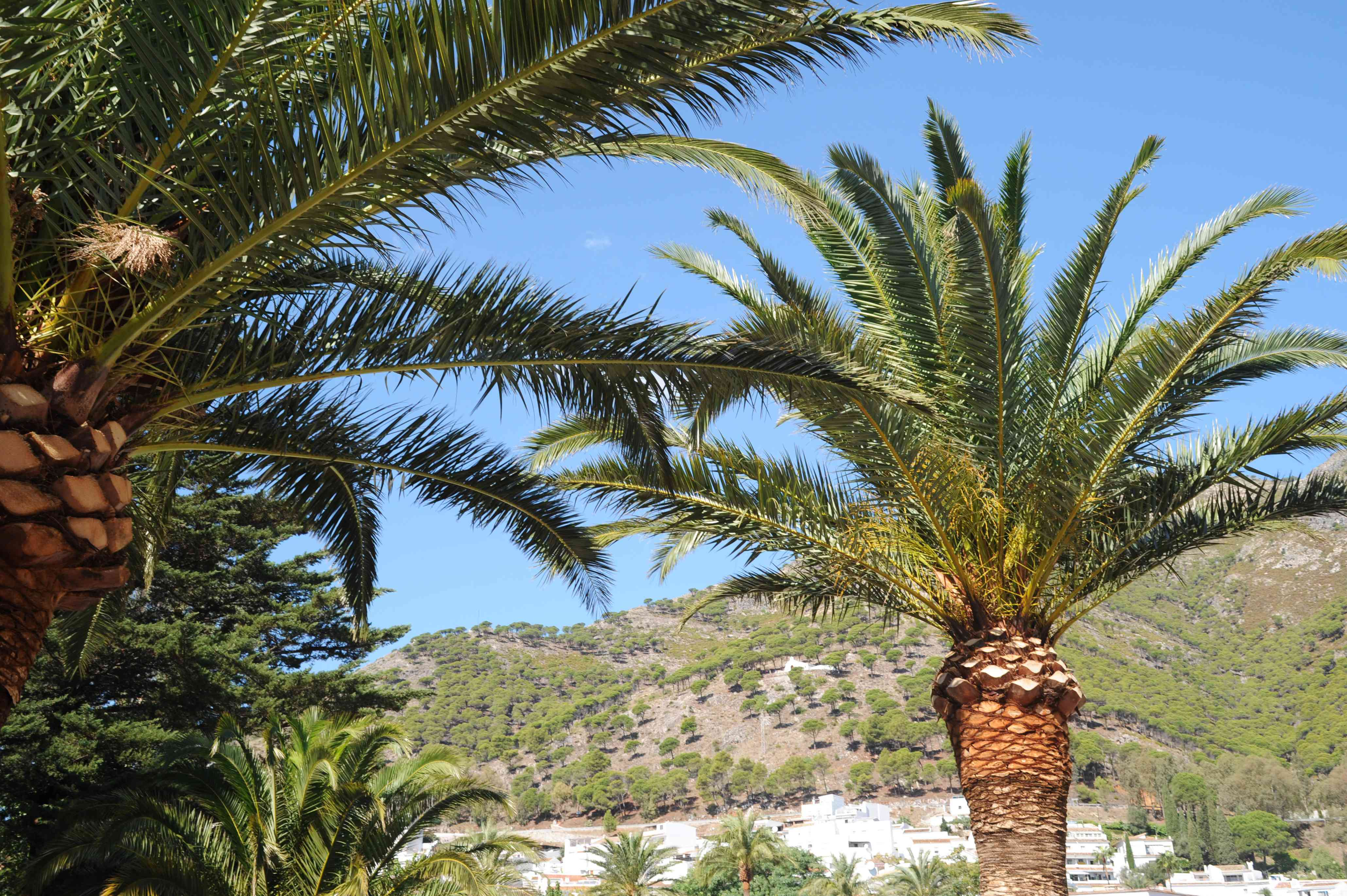 Date palm trees in front of mountain