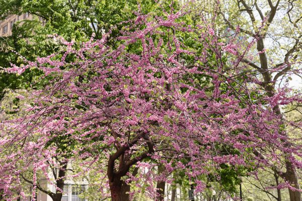 Eastern Redbud tree with blooming pink flowers surrounded by other trees