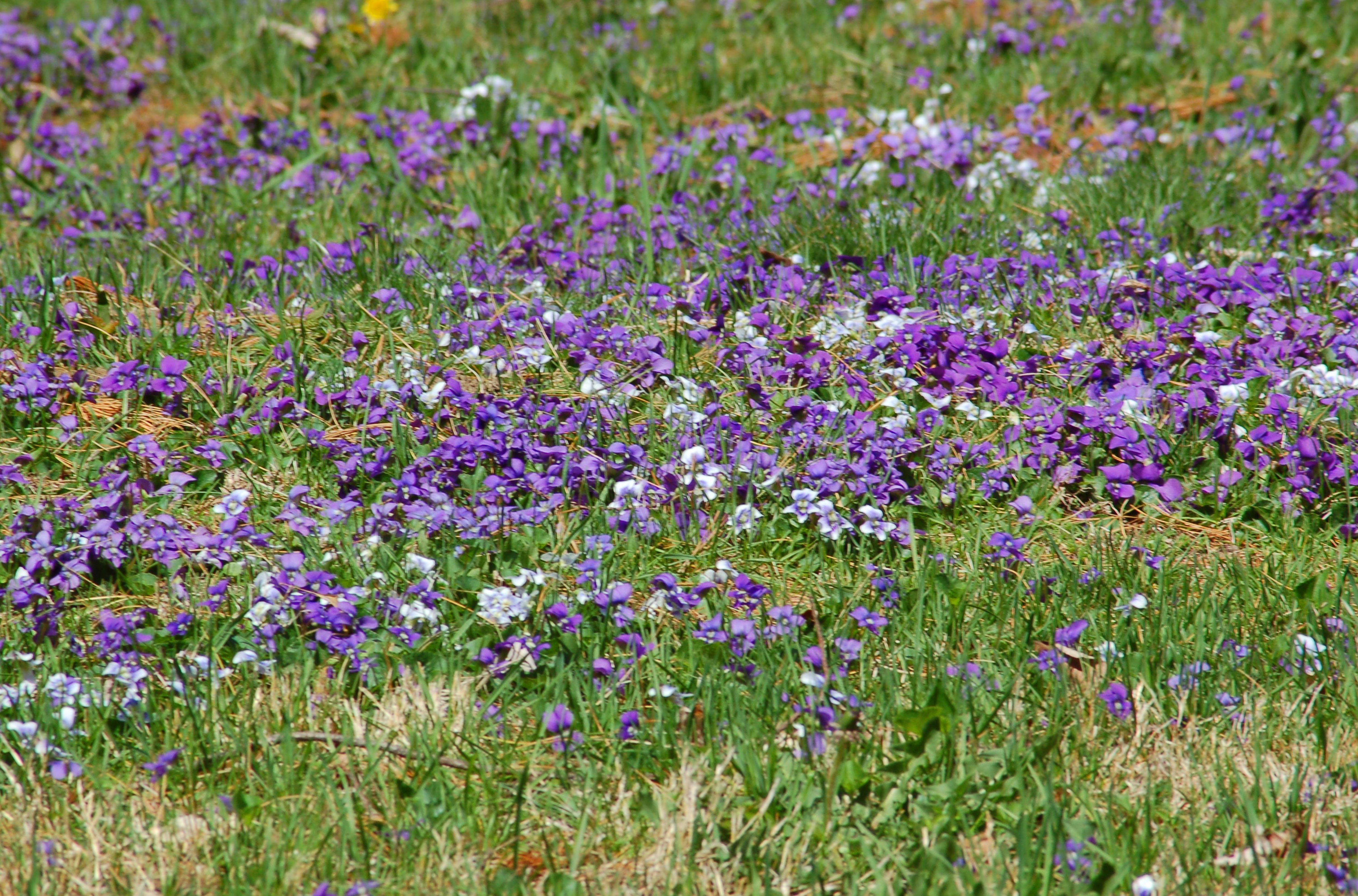 purple violets massed