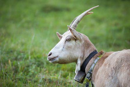 Raising Mini Alpine Goats On A Hobby Farm