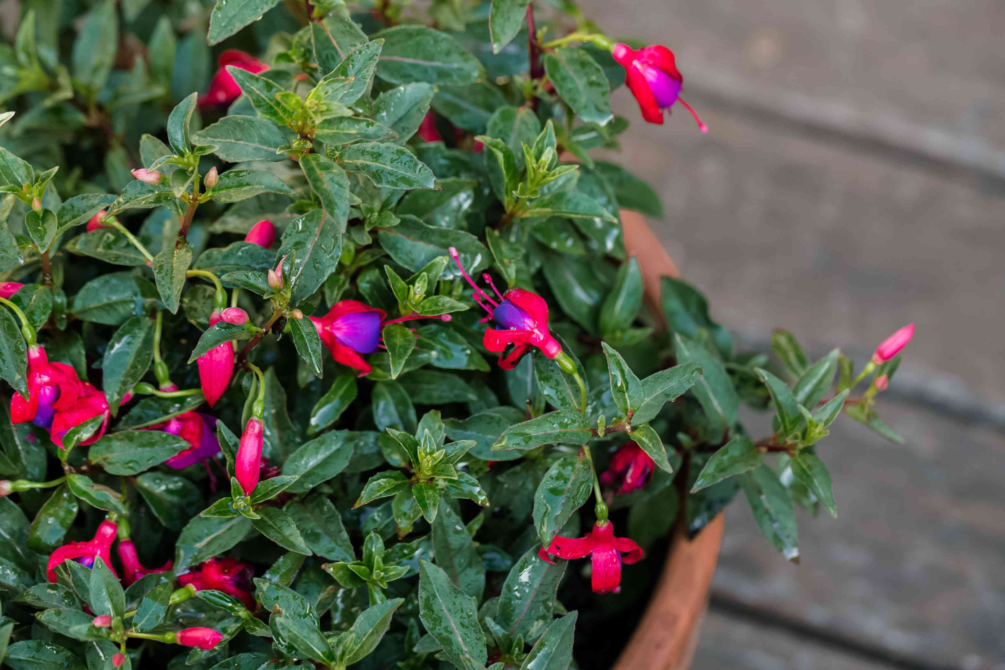 Fuchsia flowers with bright pink and purple petals surrounded by leaves closeup