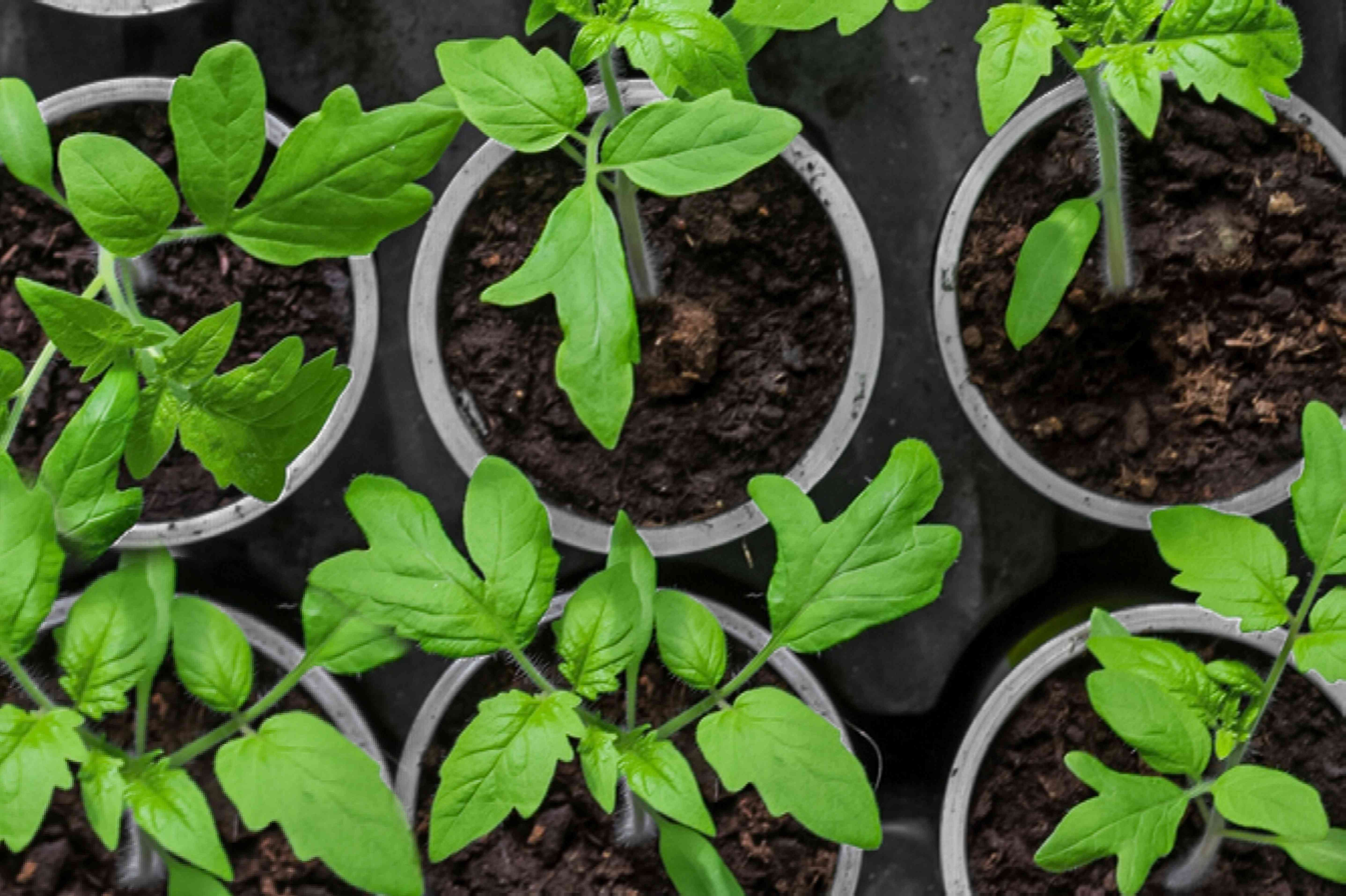 tomato plants in small containers