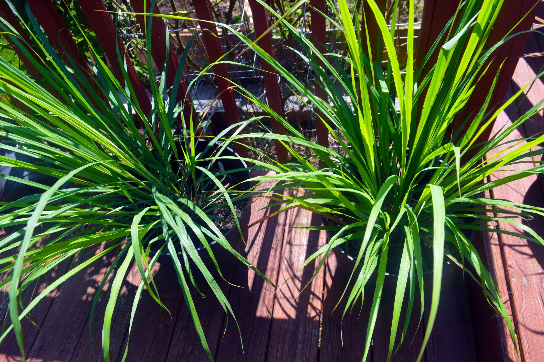 Lemongrass Container Plants
