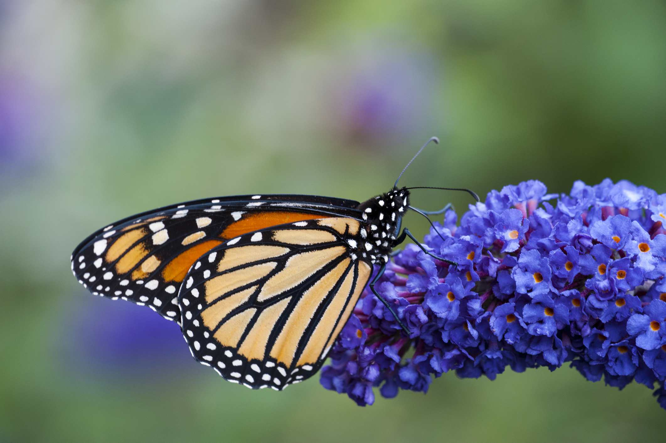 Monarch butterfly on blue Buddleia shrub.