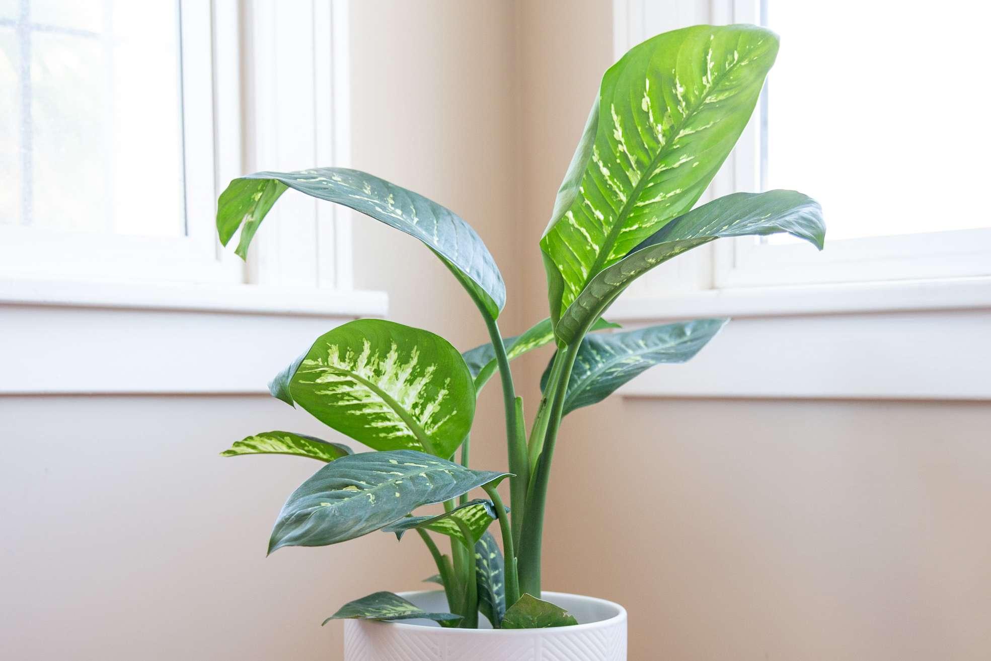 dumb cane plant