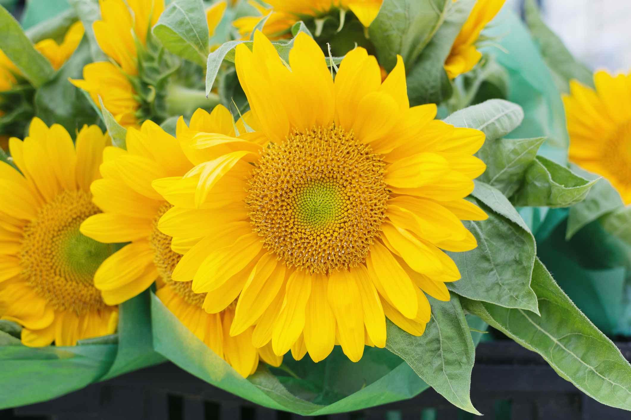 Sunrich Lime Sunflower