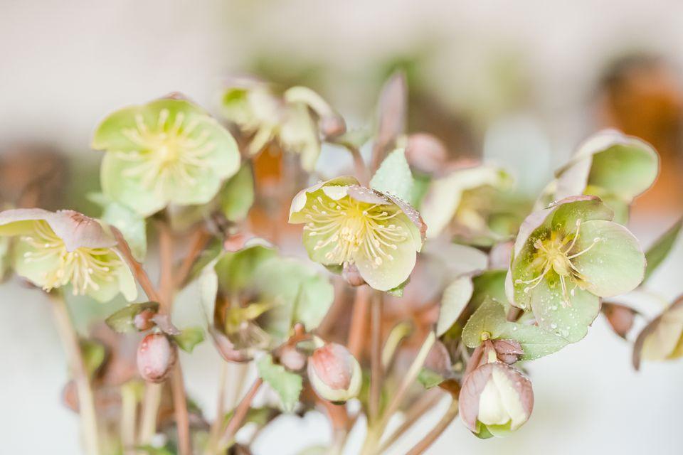 lenten roses
