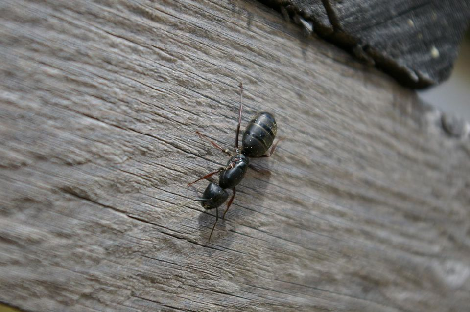 Carpenter Ant (Queen)