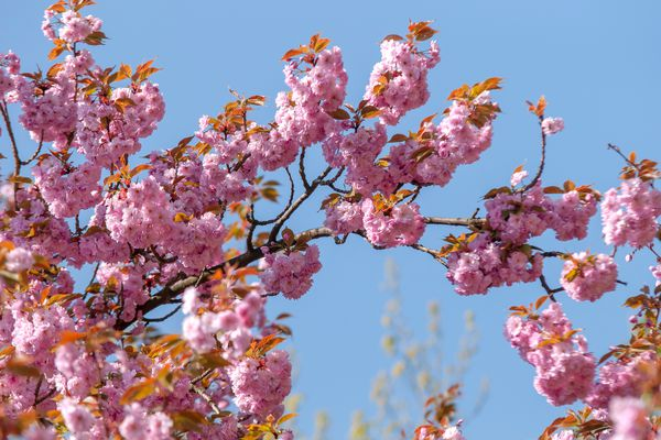 Japanese flowering cherry tree branch with pink flowers closeup