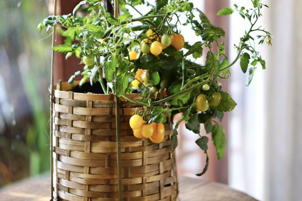 Small orange tomatoes hanging from plant vine in woven basket planter indoors