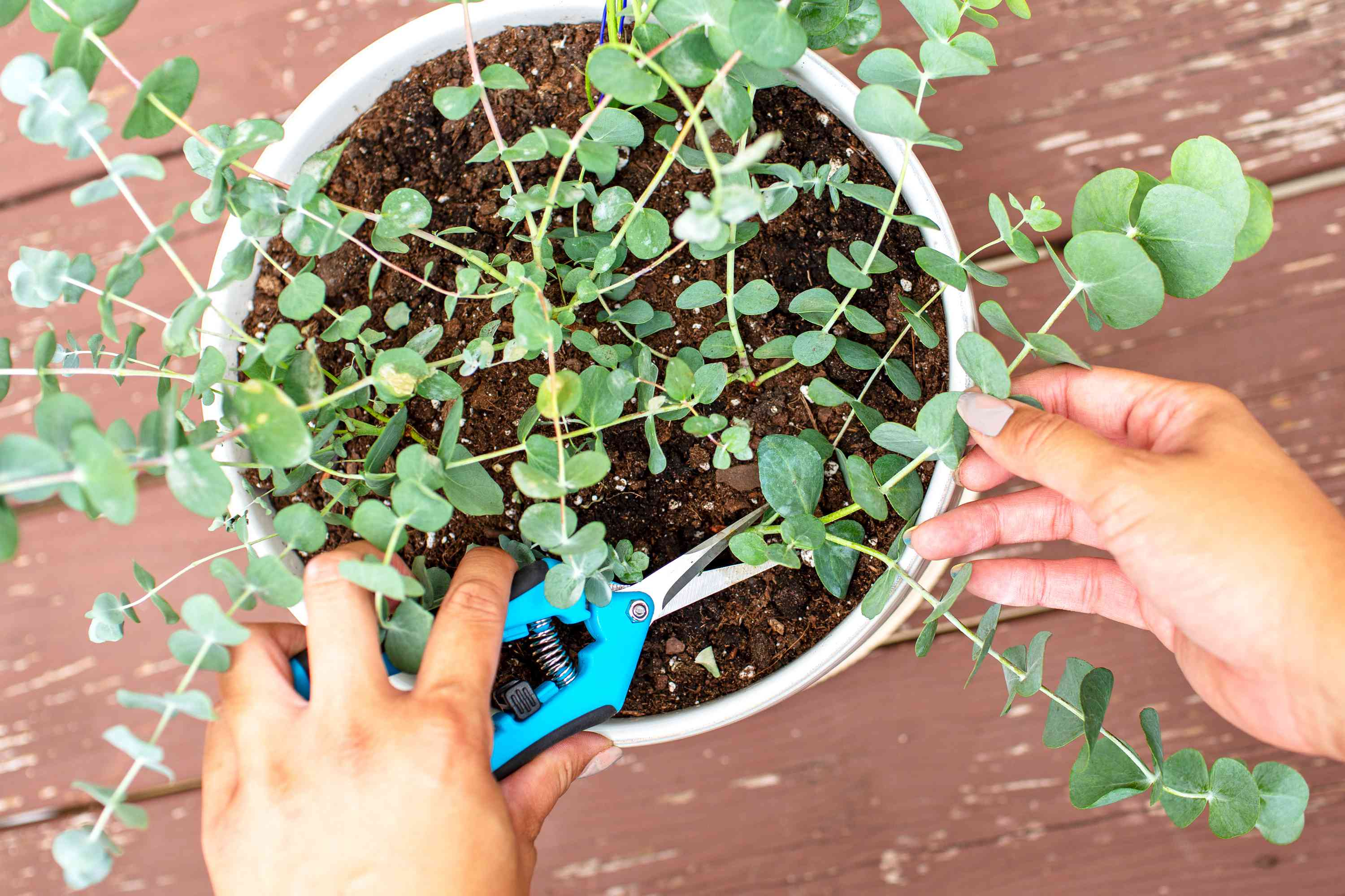 Blue eucalyptus plant in white pot being cut with blue hand-held sheers from overhead