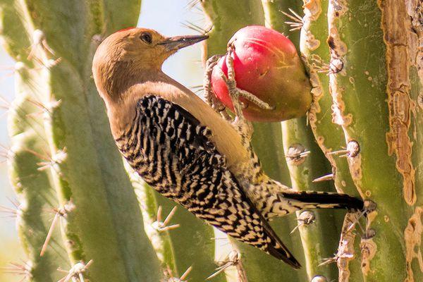 Woodpecker Eating Cactus Fruit
