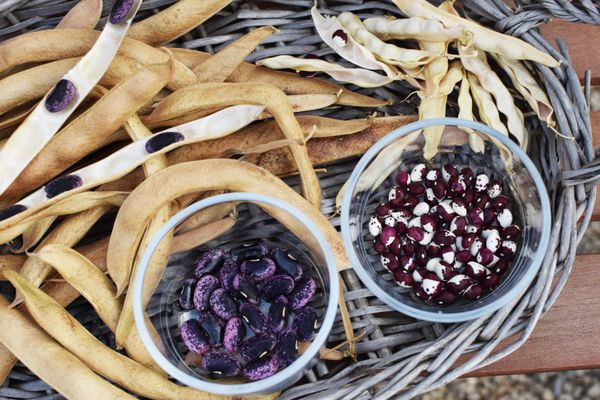 Purple and red and white bean seeds separated from dried string beans in round basket