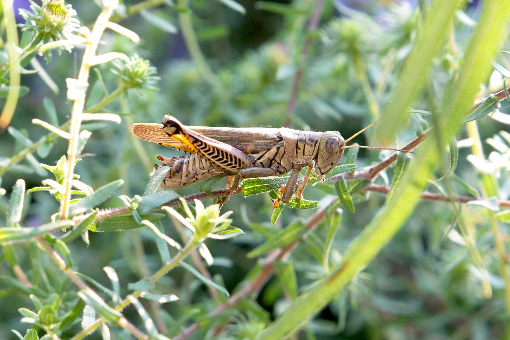 Brown grasshopper climbing on thin plant stem closeup