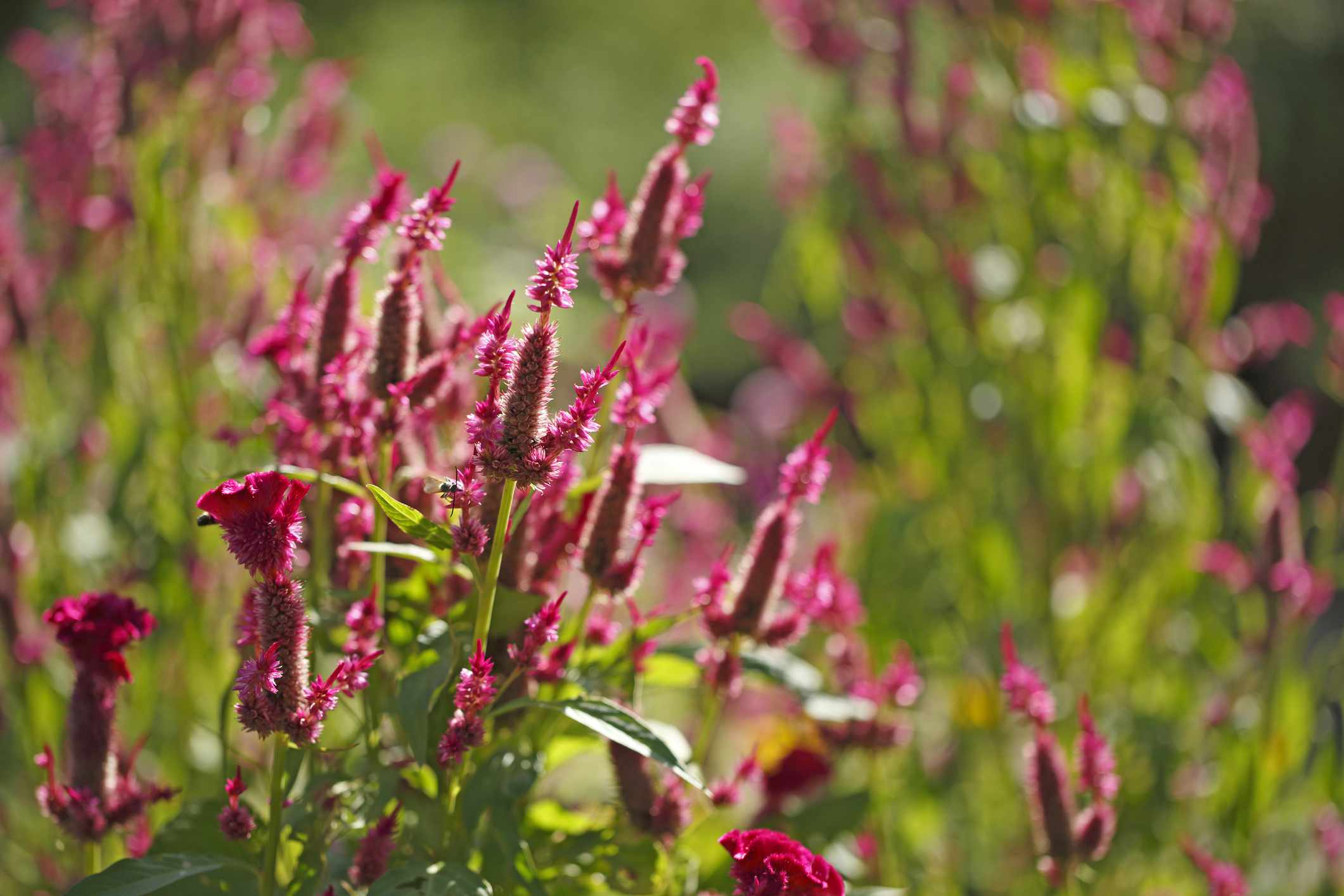 Celosia with red-purple flowers