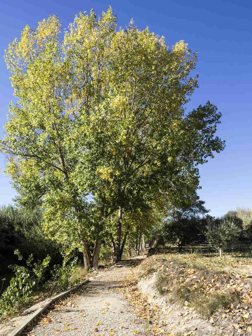 A distant Lombardy Poplar