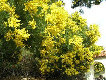 Acacia trees and shrubs from around the world green wattle mightylinksfo