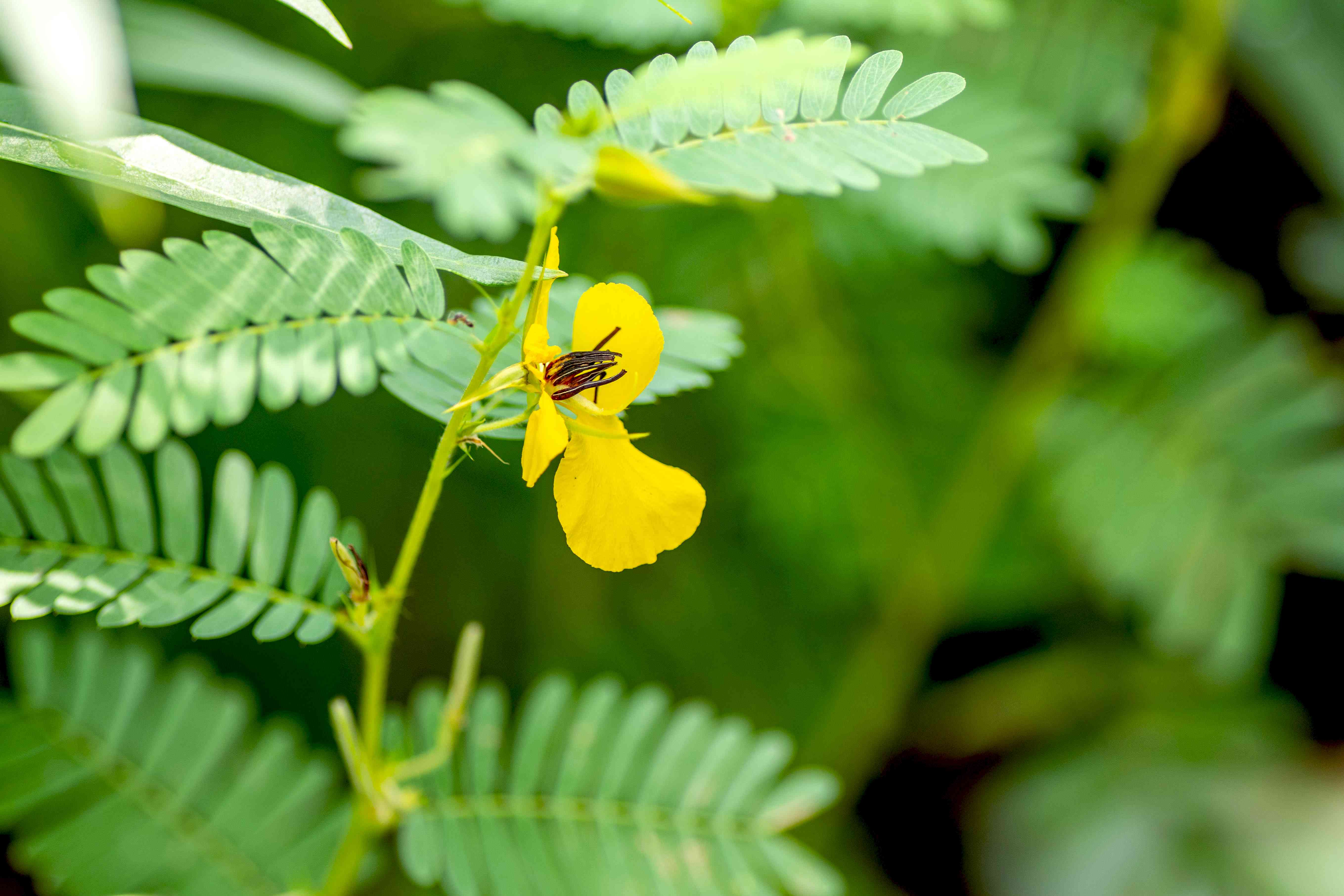 Partridge pea plant with yellow flower surrounded by feathery leaves closeup