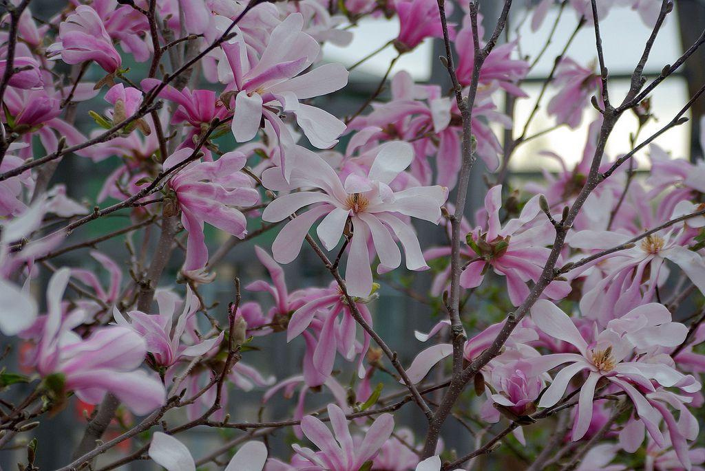 12 species of magnolia trees and shrubs mightylinksfo