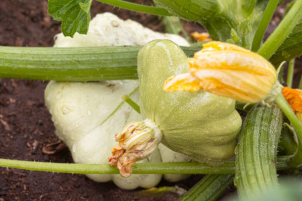 Patty pan squash plant on stem with yellow flower in front