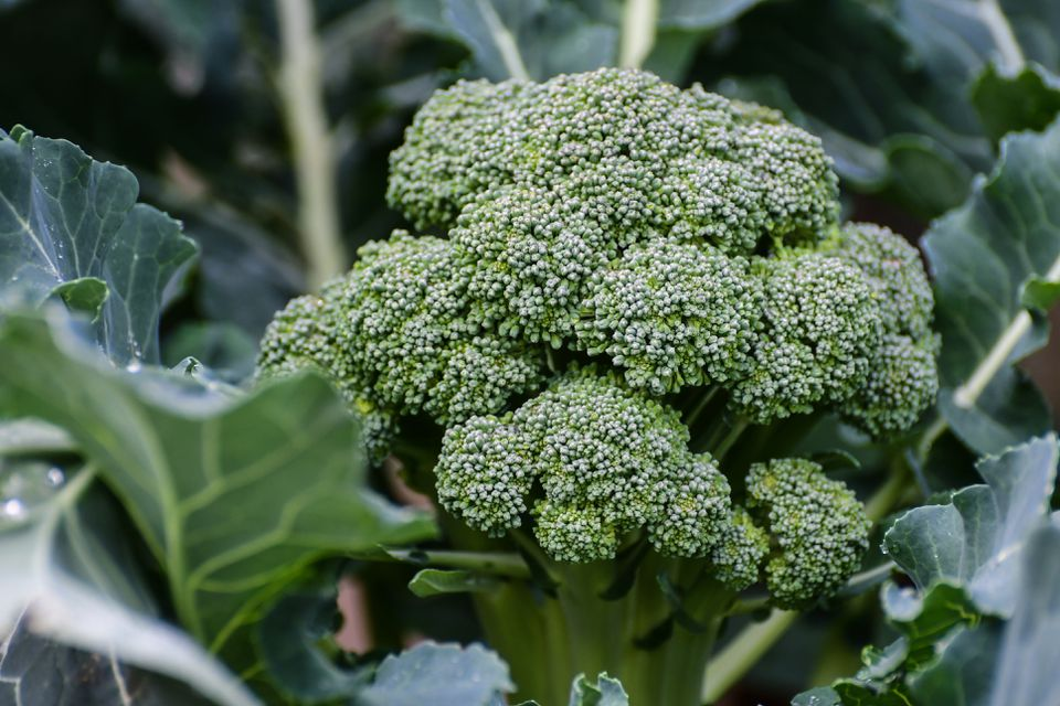 Large head of broccoli ready for harvest in the garden