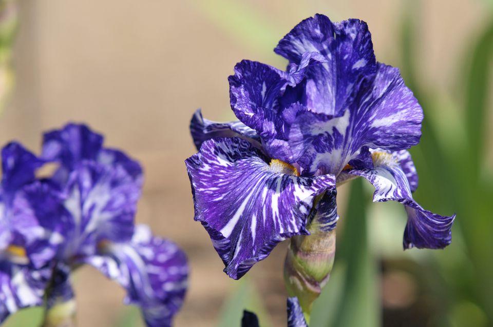 Batik german iris plant with purple and white flowers