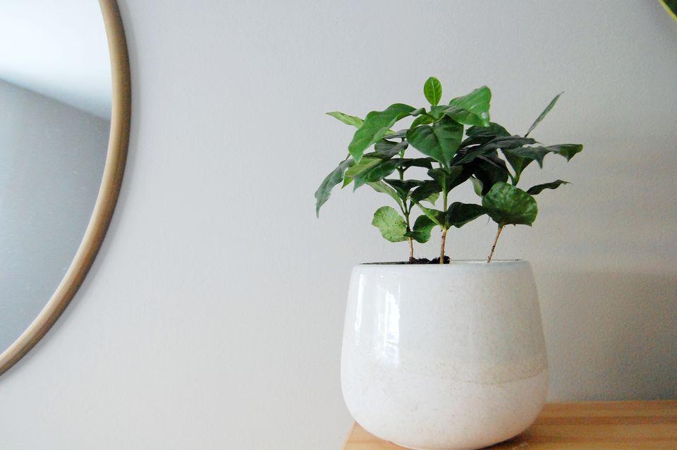coffee plant indoors