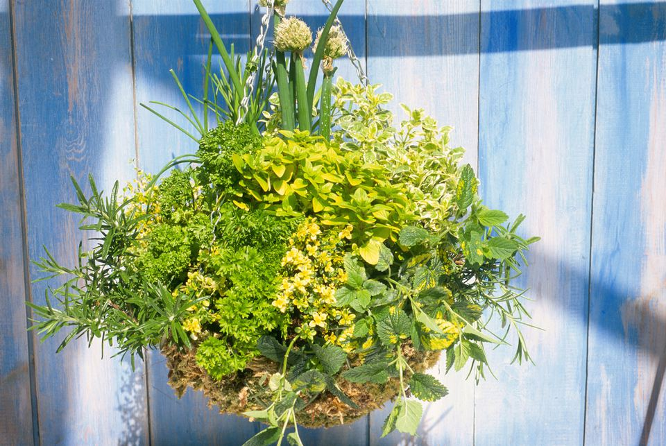 Hanging basket with herbs against painted blue background