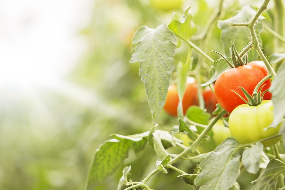 Close up of tomatoes, growing on vines