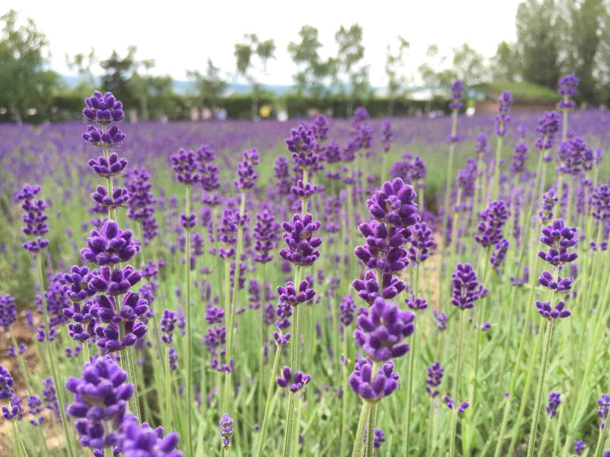 flores de lavanda púrpura