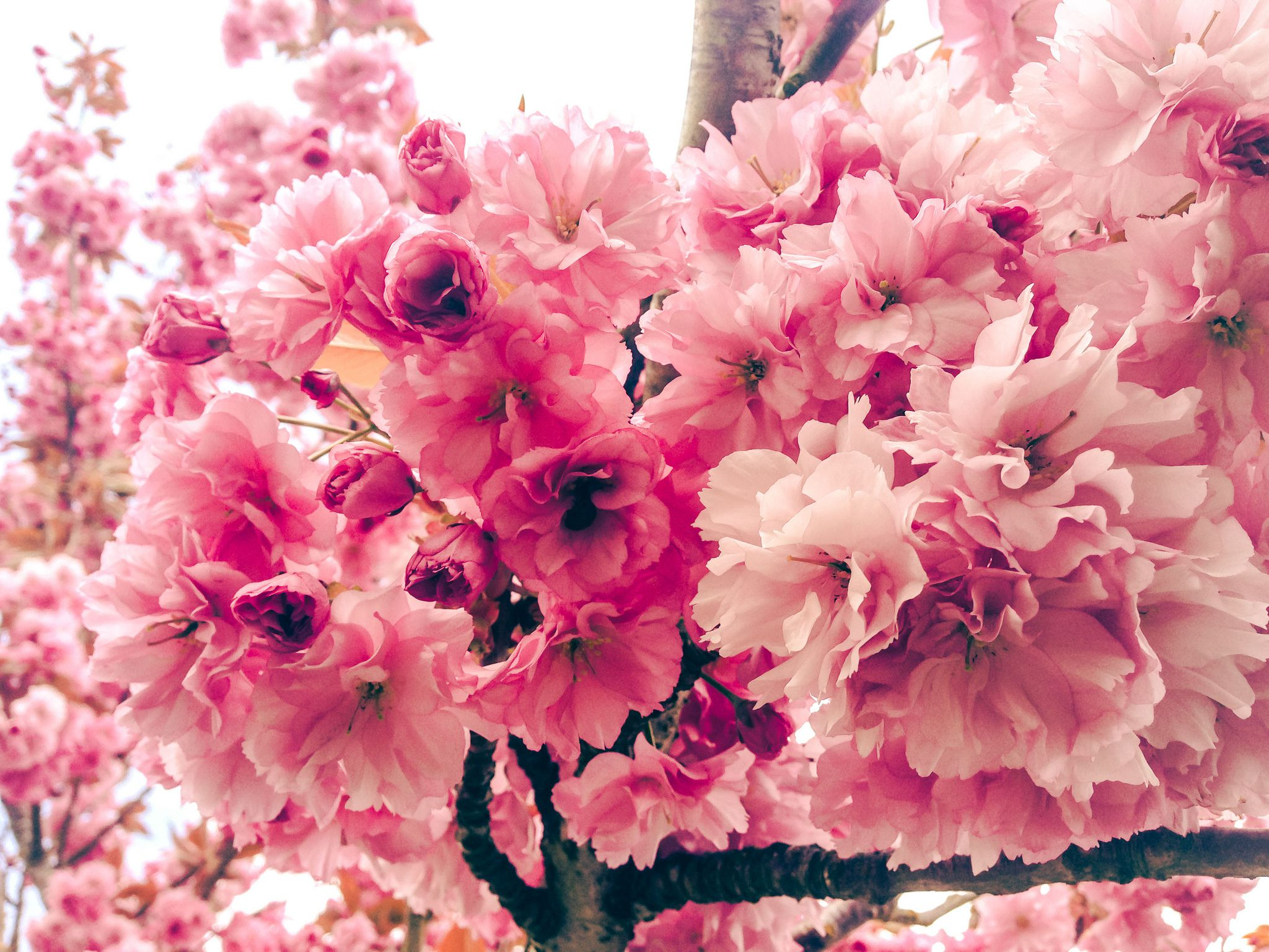 Japanese Flowering Cherry Plant Care And Growing Guide