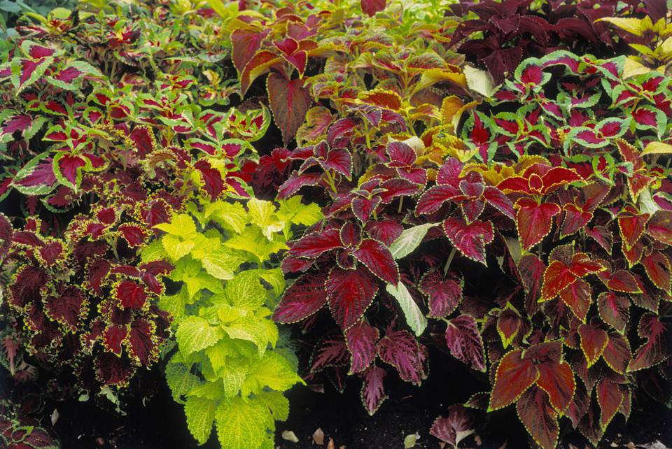 Coleus blumei (Painted Nettle), variegated foliage