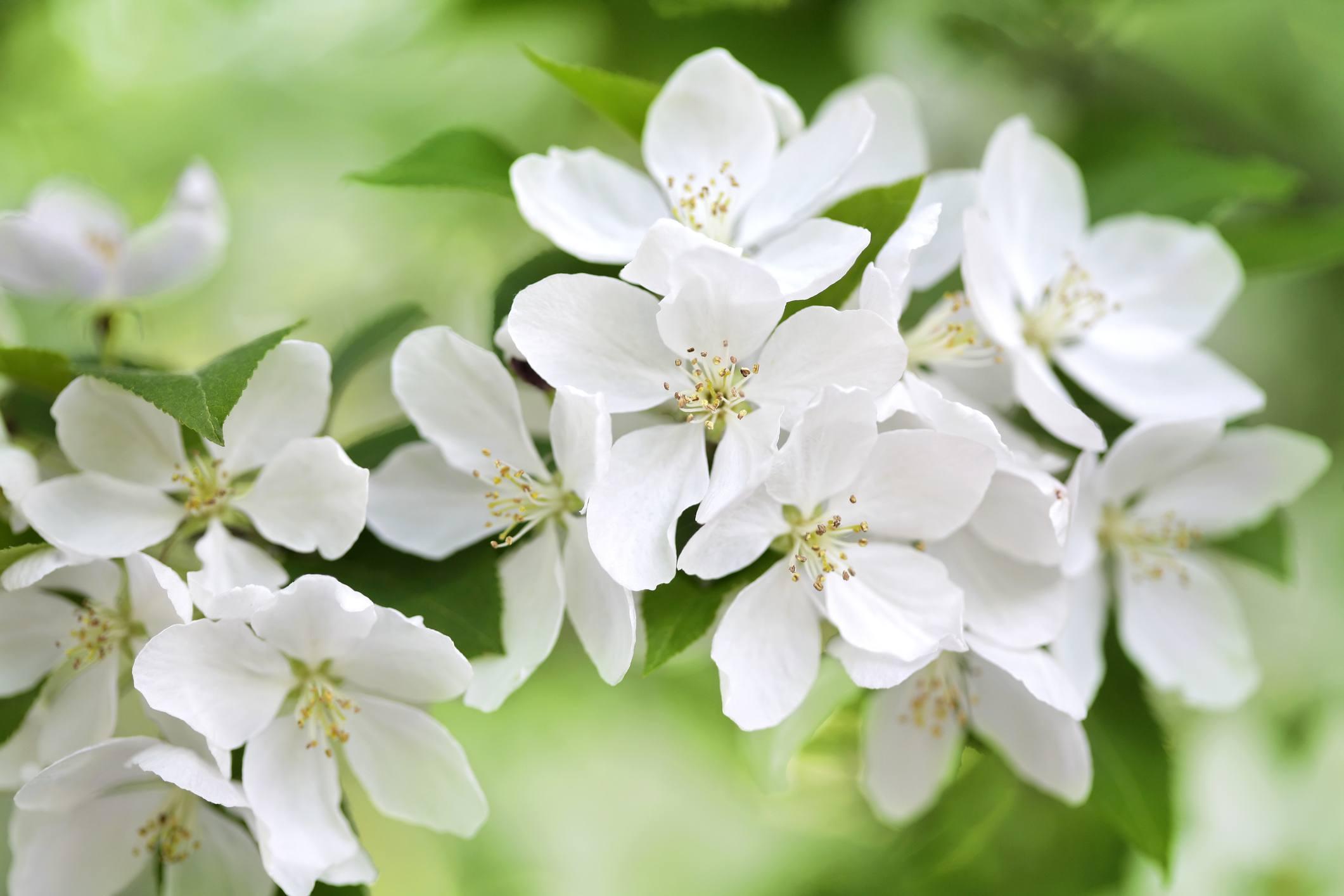 White crabapple flowers in bloom.