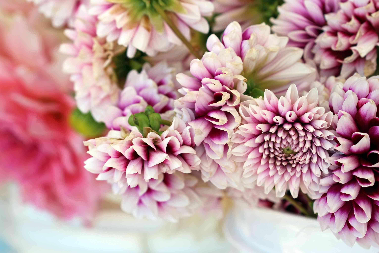 Fresh cut zinnias for an arrangement