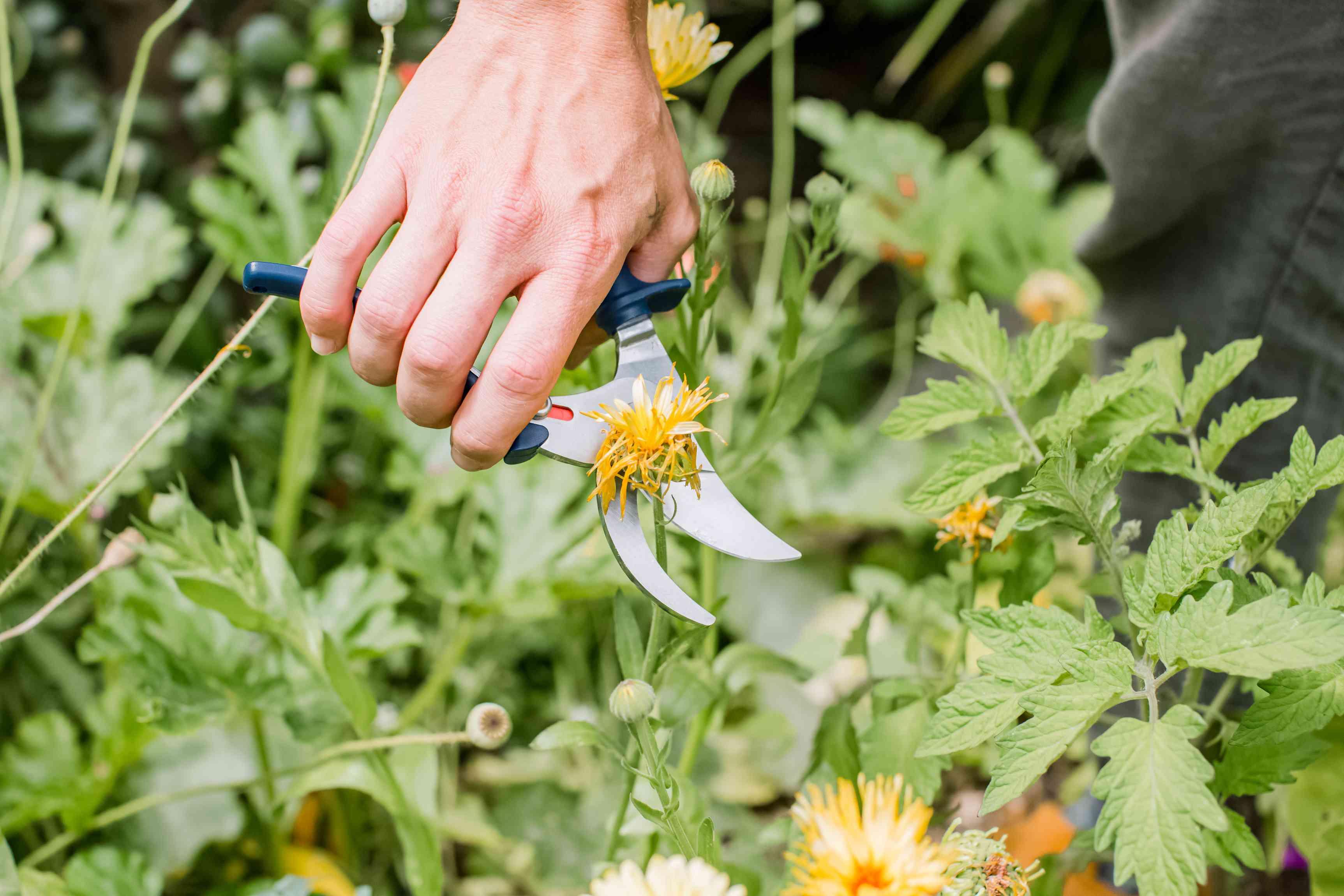 gardener deadheading a flower