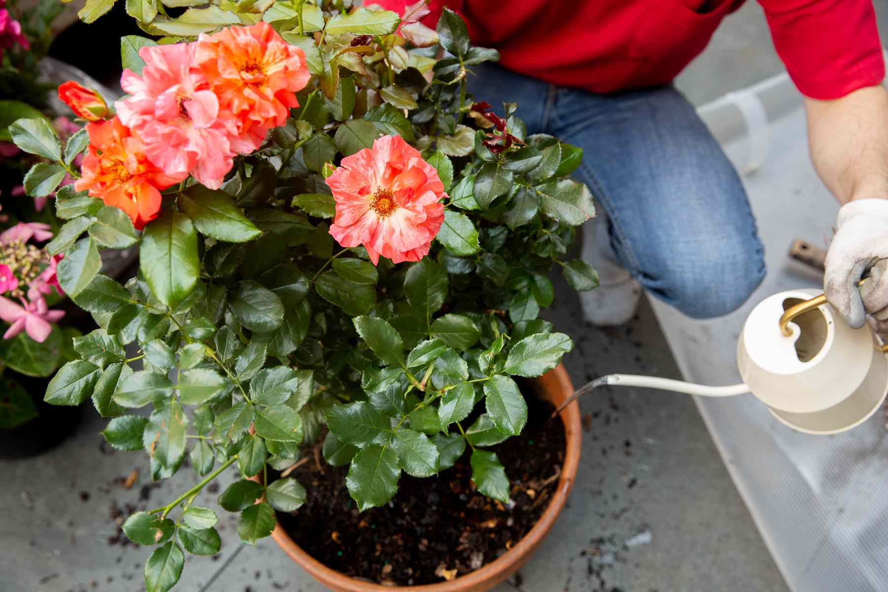 Water poured from white watering can into recently potted rose bush