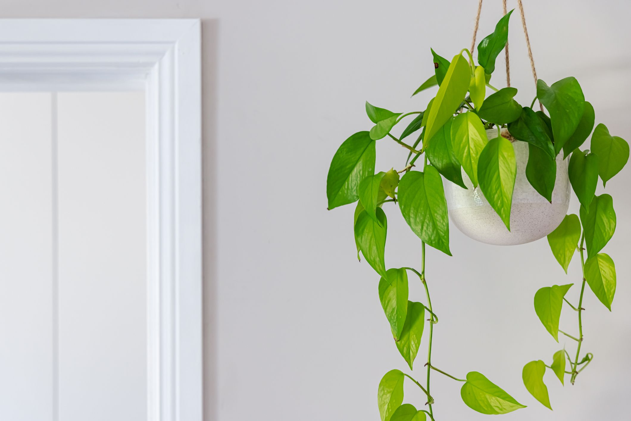 Vining pothos (Epipremnum aureum) in a white pot against a grey wall.