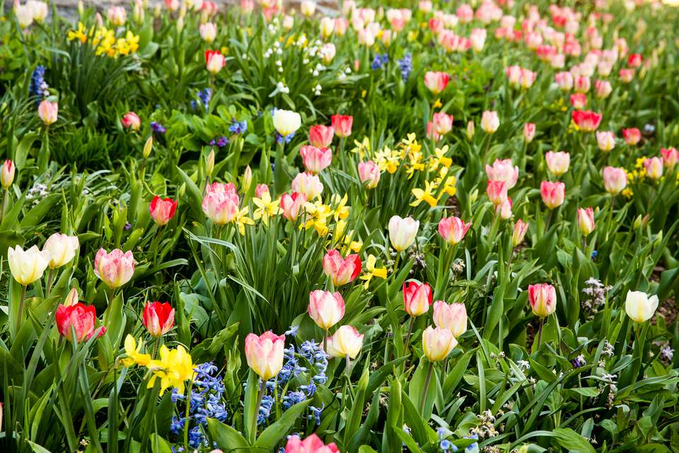 Field of white and red tulips alongside other flowers