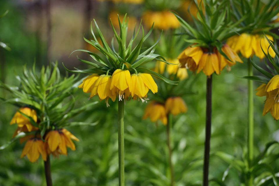 Tall Yellow Crown Imperial (Fritillaria Imperialis) blooms in mid-spring.