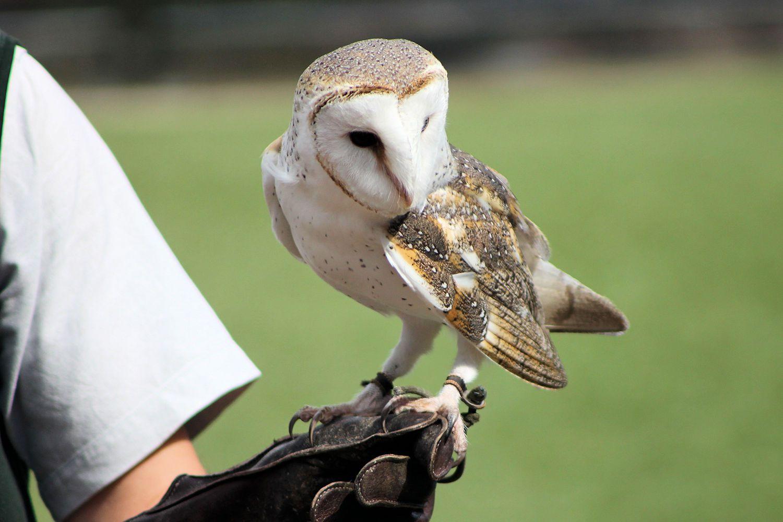 Barn Owl with Zoo Handler
