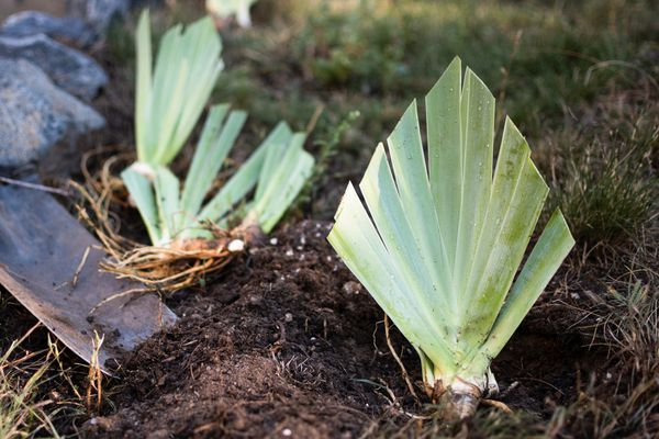 Transplanted bearded iris plants in ground with fan-like leaves trimmed
